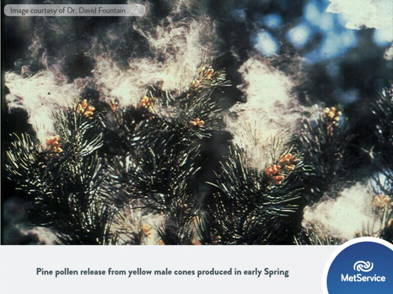 The New Zealand Pollen Forecast   MetService Blog